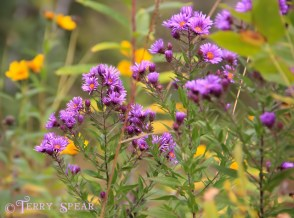River St Croix purple and yellow wildflowers fall 016 (640x475)