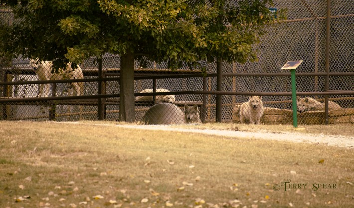 Arctic wolf pack big cat reserve 900 2488