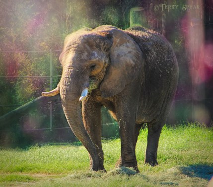 Cameron Park Zoo elephant 900 038