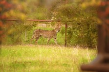 cheetah at Big Cat Org 900 2404