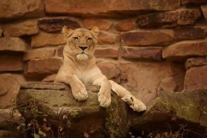 Lioness DSC_8199 (800x534)