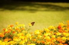 monarch butterfly DSC_6135 (800x534)