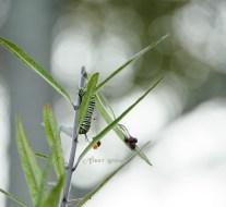 monarch caterpillar getting bigger, bokeh 900 024