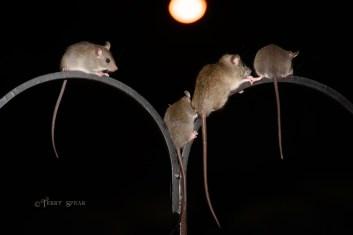 4 rats 900 012