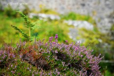 Heather below castle 900 Scotland 2015 September 2112