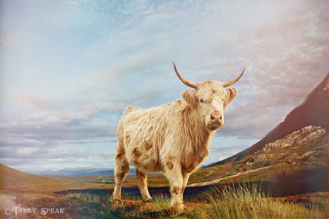 highland cow Scotland 900 7350