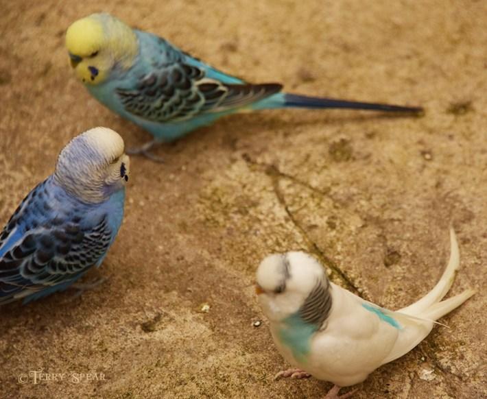 parakeets having a disagreement 900 3085