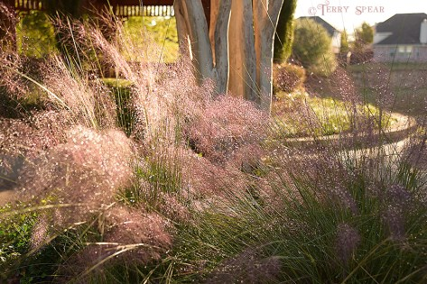 pink fountain grass water drops beauty 900 492