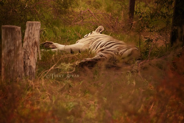 sleeping white tiger big cat reserve orange leaves 900 2512