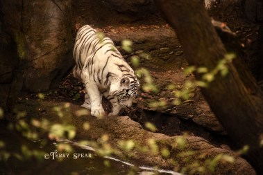 white tiger Fort Worth zoo, heading for water 900 2895