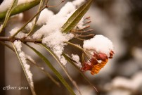 milkweed 900 Snow in Spring 6057