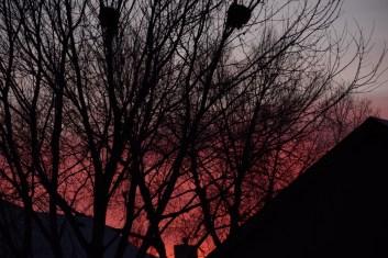 pink sunset mistletoe (1024x684)