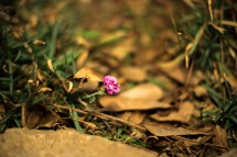 dianthus flower in January 1000 005