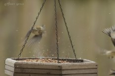 goldenfinches flying off, scattering seeds snow 1000 6183