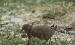 mourning dove 1000 freezing rain 6080