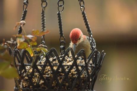 red-bellied woodpecker in the rain 1000 065