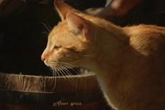 tabby cat ears forward 1000 011