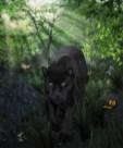 Black jaguar 1000 _03