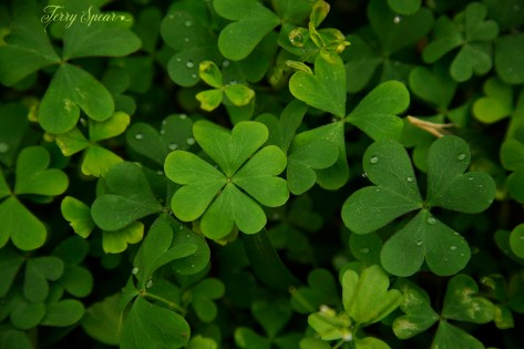 four leaf clover 1000 028
