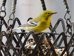 goldfinch 5th crop 1200 035
