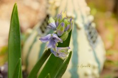 grape hyacinth 1000 and fairy house 020