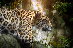 jaguar sleeping with waterfall1 1000