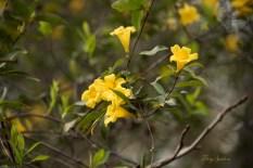 closeup jasmine flowers 1000 057