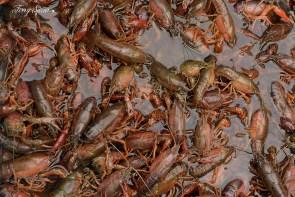 crayfish 1000 007