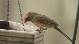 female cardinal 1000 159