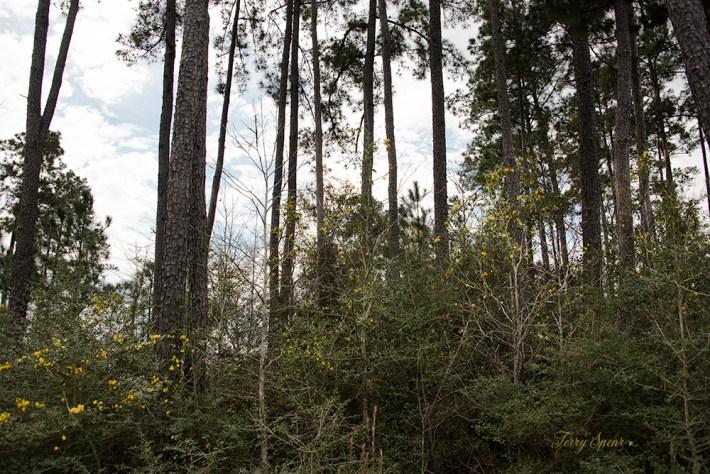 jasmine yellow flowers in the woods 1000 013