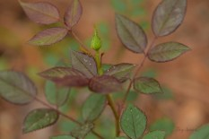 macro miniature rose 1000 027