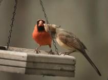 male feeding female cardinal 1000 197