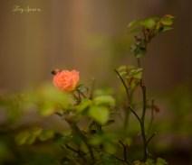 peach rose 1000 051