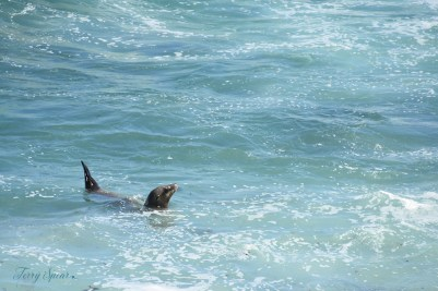 Sea lion in the surf 1000 3889