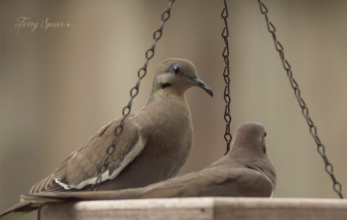 white winged doves 1000 013
