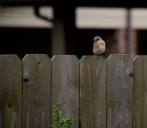bluebird on the fence 1000 011