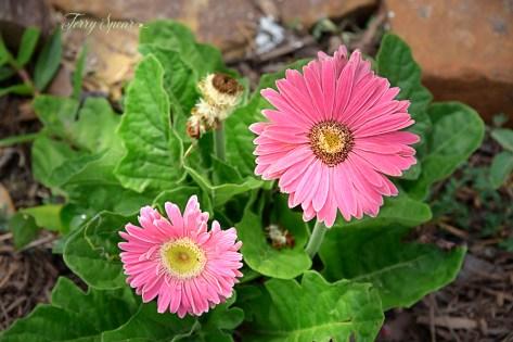 pink gerbera daisies 1000 014
