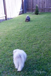 puppies playing 009