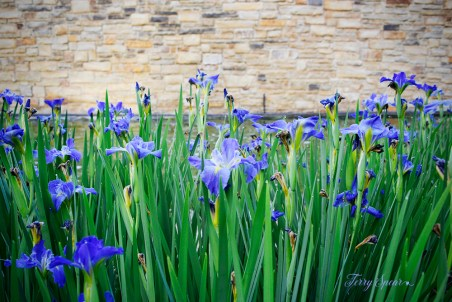purple irises stone wall 1000 130