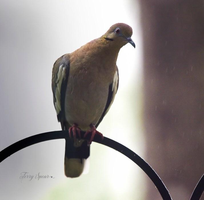 white winged dove rain drops on its head 1000 012