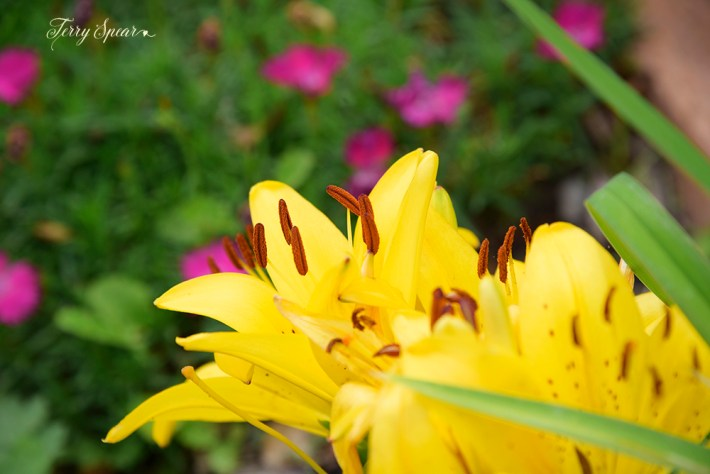 yellow Aisan lily 1000 030