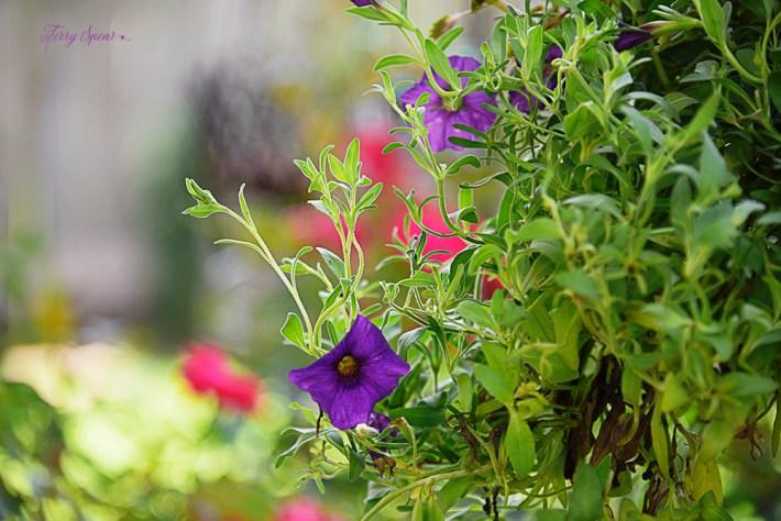 hanging flower baskets purple petunia 1000 013