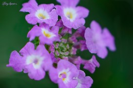 macro lavender swirl trailing lantana 1000 049