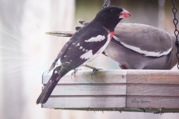 rose-breasted grosbeak 1000