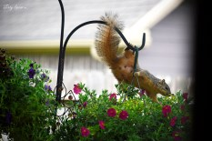 squirrel on hanging basket 1000 020