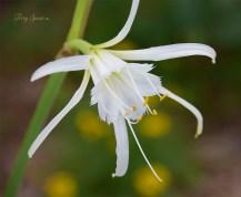 white daylily 1000 009
