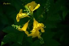yellow esperanza 1000 004