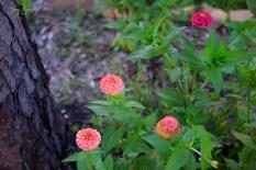 coral zinnia 1000 043