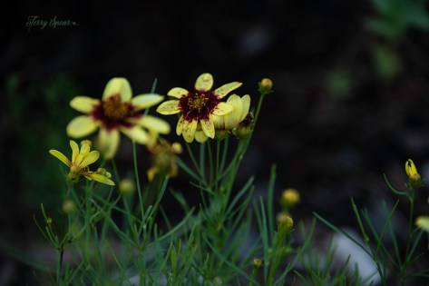 coreopsis yellow flower 1000 023