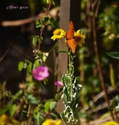 fritillary butterfly wetlands 900 051